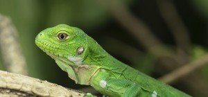 Bedrohte Antillen-Leguane bekamen in Schönbrunn Nachwuchs