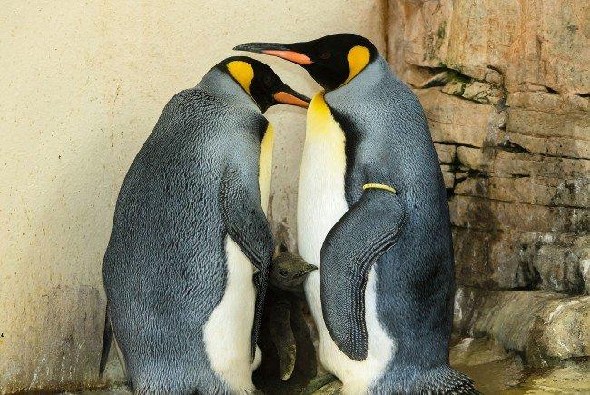 Bisher hatte sich der kleine Pinguin in Bauchfalte der Eltern versteckt