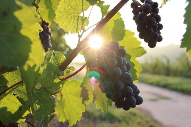 Der Weinwandertag gehört zum Herbst in Wien einfach dazu.