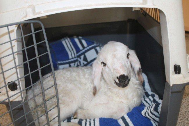 Das neugeborene Lamm konnte gerettet werden