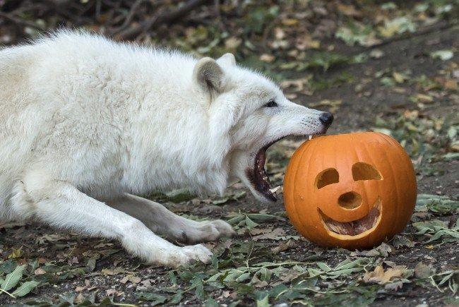 Die Wölfe in Schönbrunn interessiert mehr der fleischige Inhalt der Halloween-Kürbisse