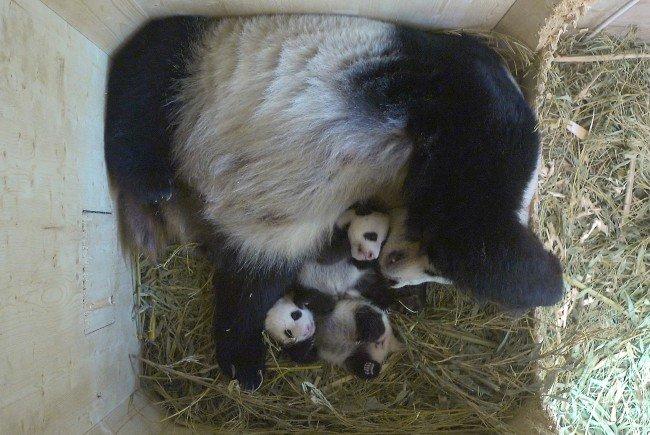 In der Panda-Wurfbox in Schönbrunn