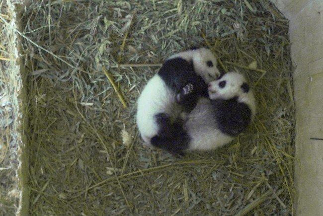 In Kürze werden die Panda-Babys ihren Namen erhalten