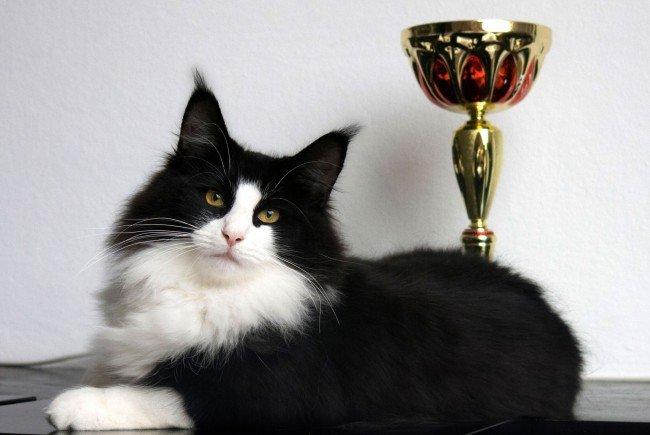 Die Katzen-Weltsieger des Jahres 2016 werden diesmal in Wien gewählt
