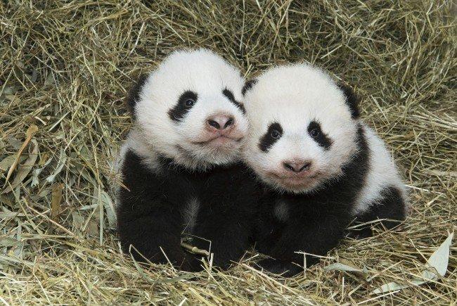 Panda-Mädchen Fu Feng (links) und ihr Bruder Fu Ban