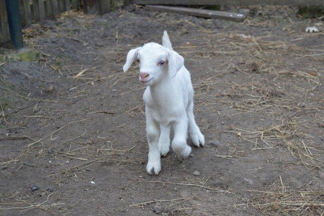 Auf der Mariahilfer Straße werden jetzt Ziegen verkauft.