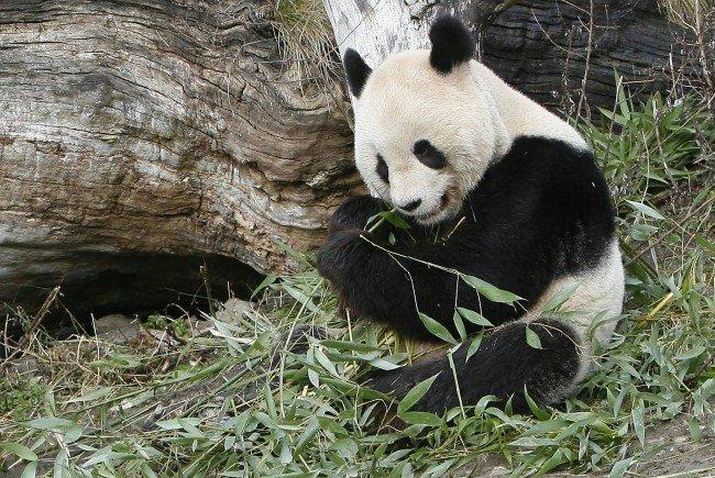 Pandabär Long Hui litt an einem Gallengangtumor.