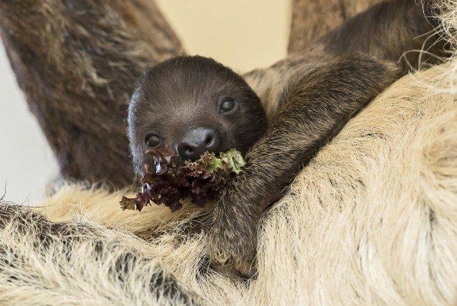 Das Faultier-Junge klammert sich an das Fell seiner Mutter.