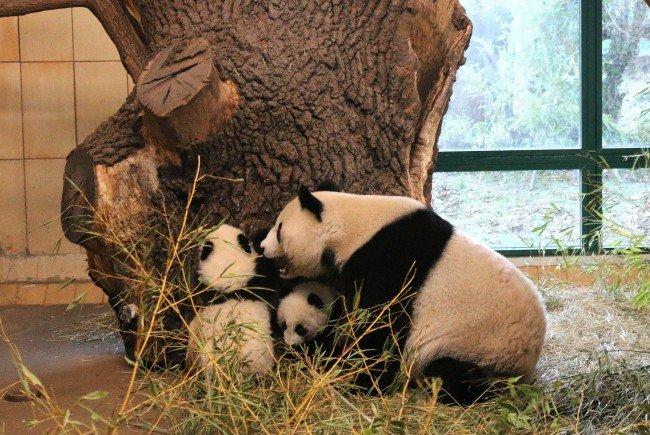 Die Panda-Zwillinger auf Erkungsungstour im Tiergarten Schönbrunn.