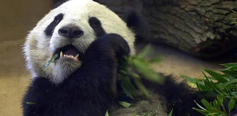Schönbrunner Pandabär Long Hui ist tot