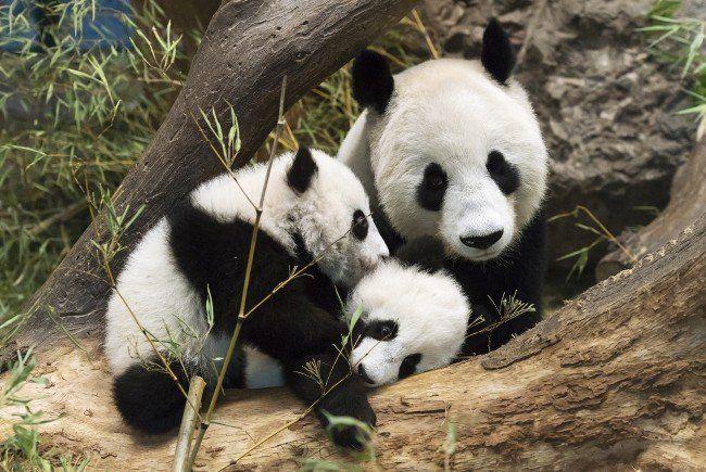 Von links nach rechts: Fu Feng, Fu Ban und Mutter Yang Yang