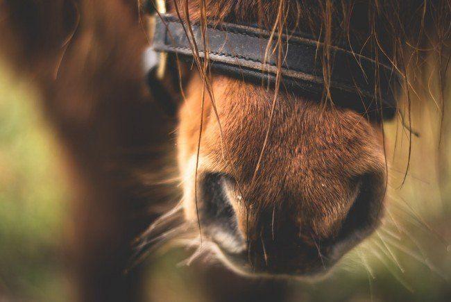 """Vier Pfoten fordert eine """"Hacklerregelung"""" für die Ponys aus dem Prater-Karussell."""