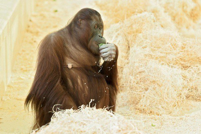 Das Orang-Utan-Weibchen Sol im Tiergarten Schönbrunn ist trächtig