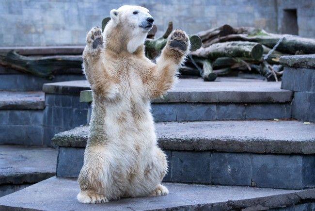 Kaum zu glauben wie liebenswert die eigentlich gefährlichen Eisbären sind.