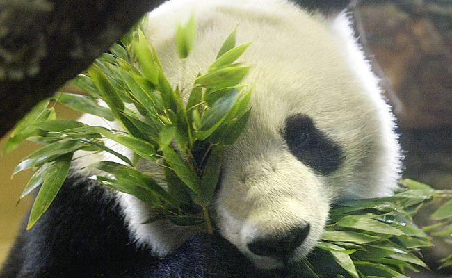 Der verstorbene Pandabär Long Hui soll im Tiroler Landesmuseum präpariert werden.
