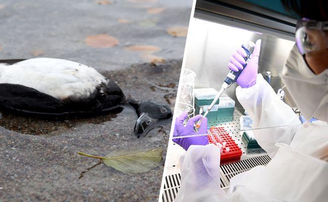 Bei den toten Vögeln an der Alten Donau wurde das Vogelgrippevirus nachgewiesen.