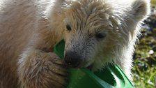 Eisbärbaby in München: So süß ist Quintana
