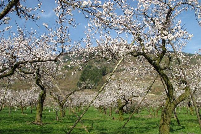 """Der """"Marillenblütenfrühling"""" in der Wachau."""