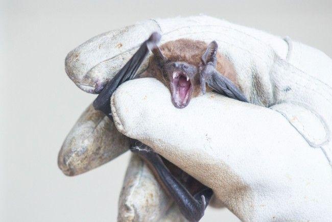 Ein Rudel Fledermäuse war zu Gast im Wiener Tierschutzverein