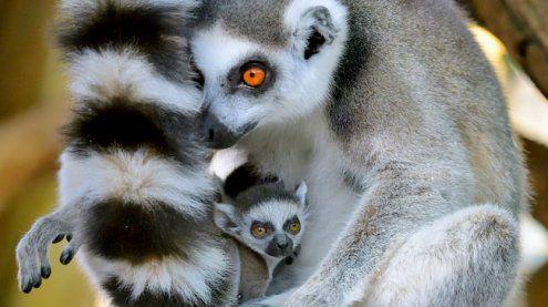 Nachwuchs im Wiener Tiergarten Schönbrunn: Zwillinge bei Kattas