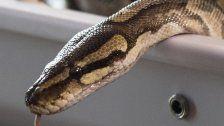 Schock: Python frisst Mann samt Gummistiefel