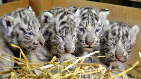 """Wieder weiße Tiger-Vierlinge im """"Weißen Zoo"""" in NÖ geboren"""