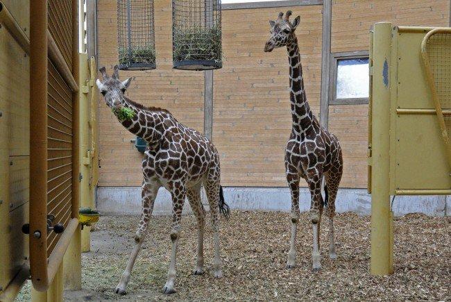 Fleur und Sofie kommen in den neuen Giraffenpark nach Schönbrunn.