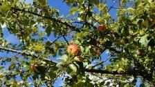 Der Obstbaum, der Klassiker im Garten