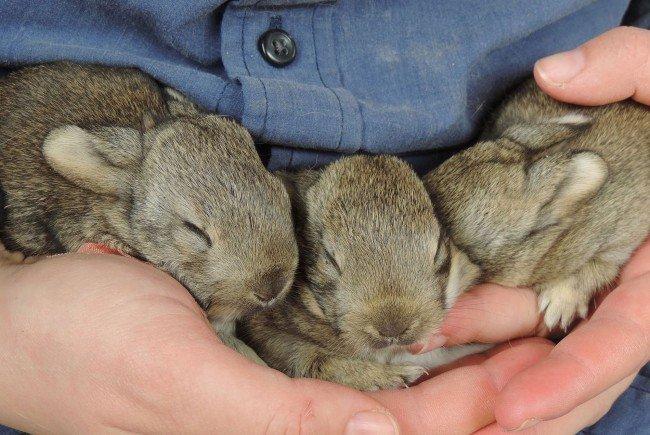 Drei Wildkaninchen-Babys gerettet und in die EGS Haringsee gebracht