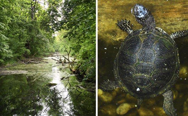 Europäische Sumpfschildkröte ist heimisch im Nationalpark Donau-Auen
