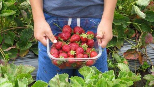 Erdbeeren selber pflücken: Alle Erntefelder in und um Wien