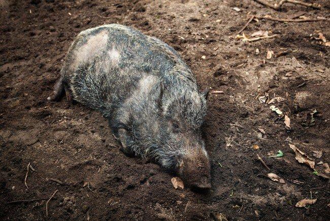 Ein Wildschwein attackierte Kinder auf einem Spielplatz in Wien-Donaustadt.