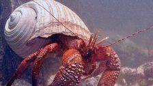 Riesen-Einsiedlerkrebs lebt im Haus des Meeres