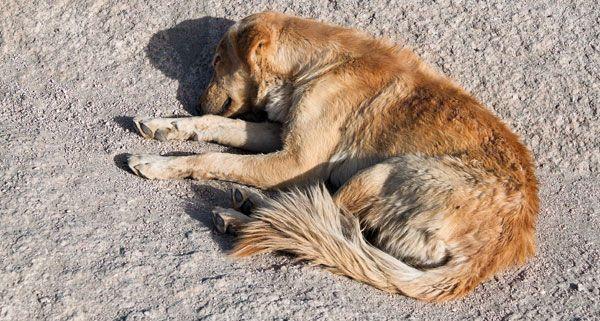 An Rattengift können Hunde qualvoll verenden.