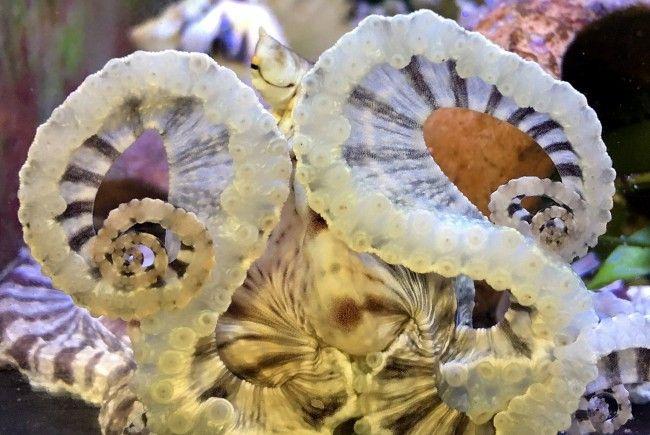 Der Mimik-Oktopus im Haus des Meeres - gibt er sich hier als Brille aus?