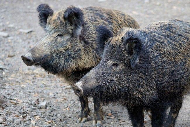 Ostösterreich ergreift Maßnahmen gegen die Ausbreitung der Afrikanischen Schweinepest.