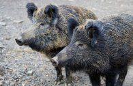 Schweinepest in Tschechien: Wien trifft Vorkehrungen