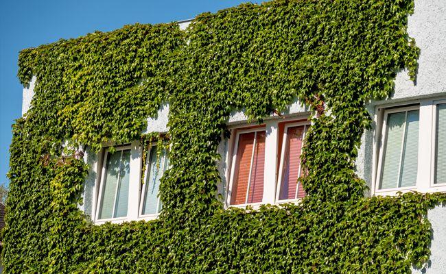 Begrünte Hauswände können die immer heißeren Städte kühlen.