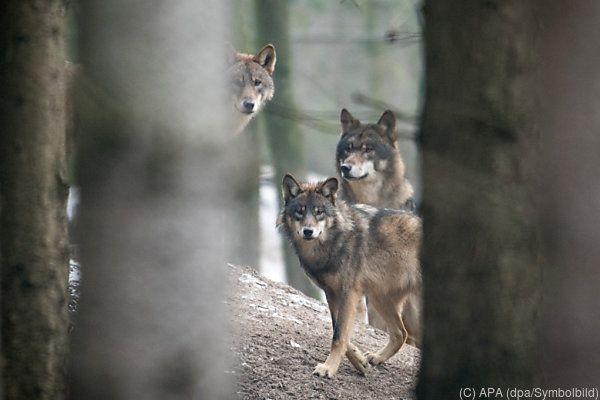 Wölfe lassen Menschen normalerweise in Ruhe