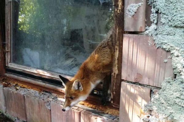 Der Fuchs wurde aus seiner misslichen Lage befreit