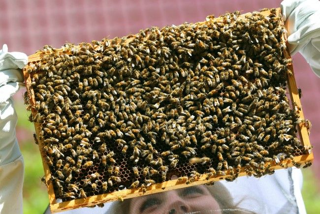 100.000 Bienen am Dach der Münze Österreich produzierten 200 Kilo Honig.