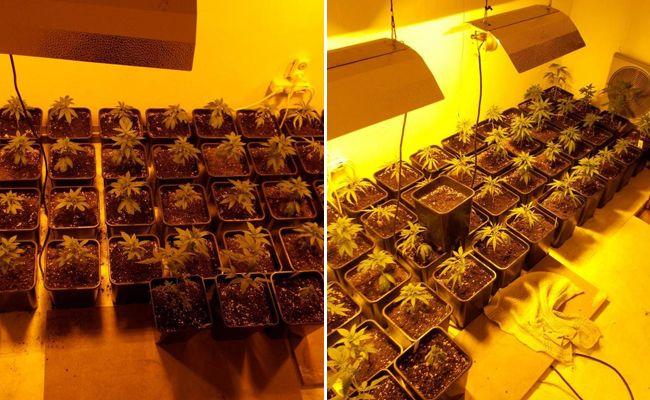 Insgesamt wurden 83 Marihuanapflanzen sichergestellt.