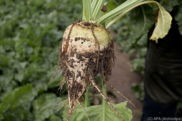 Begrenzungen für Zuckerrüben-Anbau gefallen