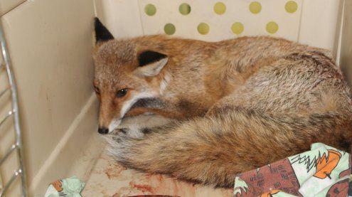 Schwerverletzte Fuchsdame in Wien-Favoriten gefunden: Not-OP