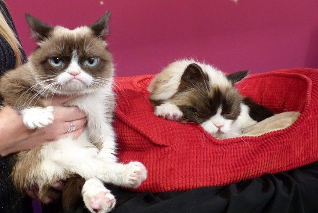 Grumpy Cat ist wenig überraschend auf Platz 1 der einflussreichsten Tiere laut Forbes.
