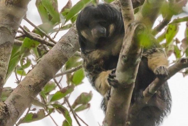 Dieser Affe wurde seit 80 Jahren nicht mehr gesehen.
