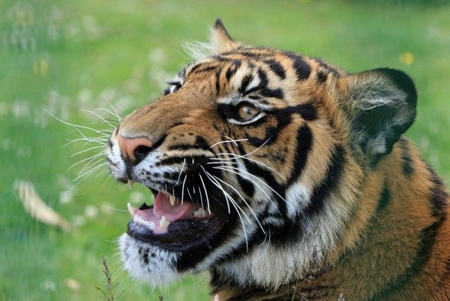 Ein Tiger-Weibchen tötete in Indien mehrere Menschen.