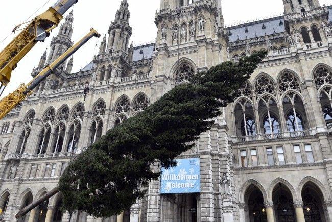 Ankunft und Aufstellung des Weihnachtsbaumes aus Vorarlberg für den Wiener Christkindlmarkt am Rathausplatz