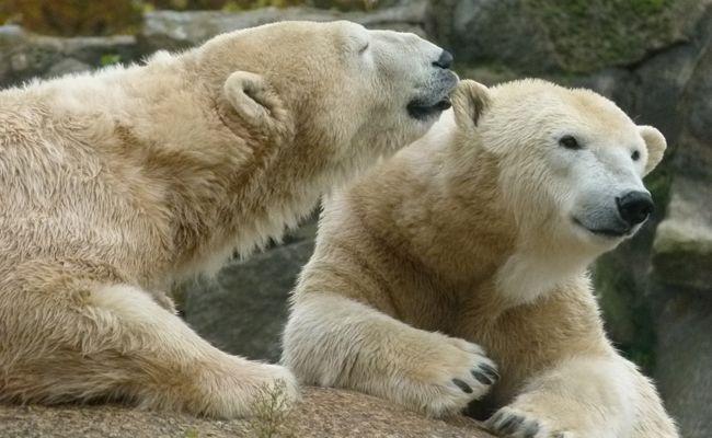 Eine Woche lang dreht sich im Tiergarten Schönbrunn alles um Eisbären.