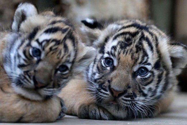 Ein weibliches und männliches Tiger-Baby wurden geboren.